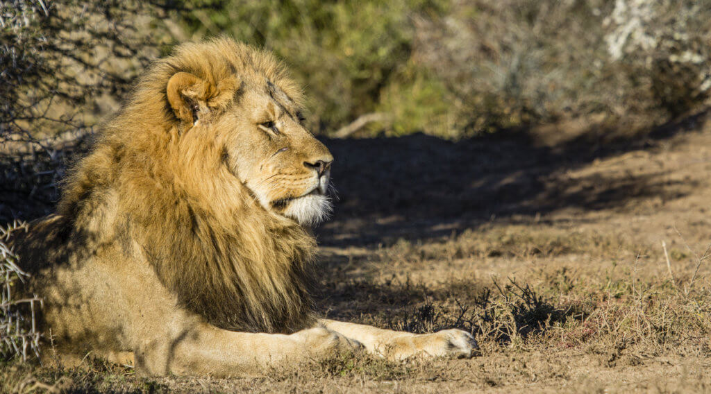 lion, The Lion Dynamics of Shamwari Private Game Reserve