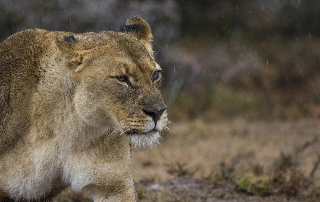 The Lion Dynamics of Shamwari Private Game Reserve