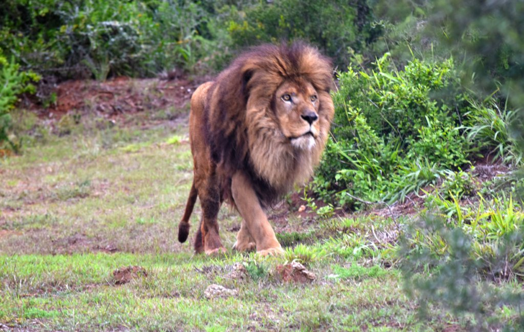 lion-walking-in-field
