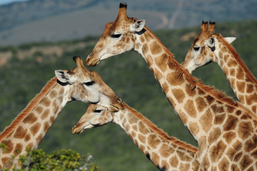 Giraffe Facts, 10 Facts You Need to Know About Giraffe