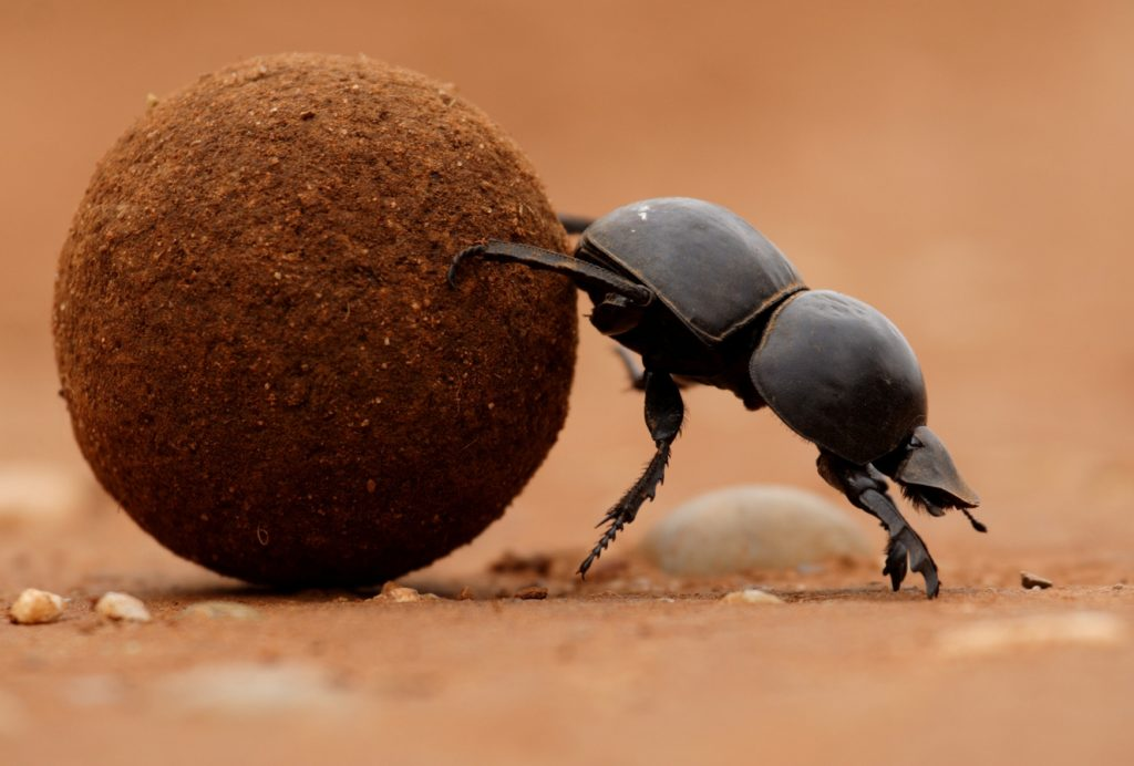Flightless dung beetle