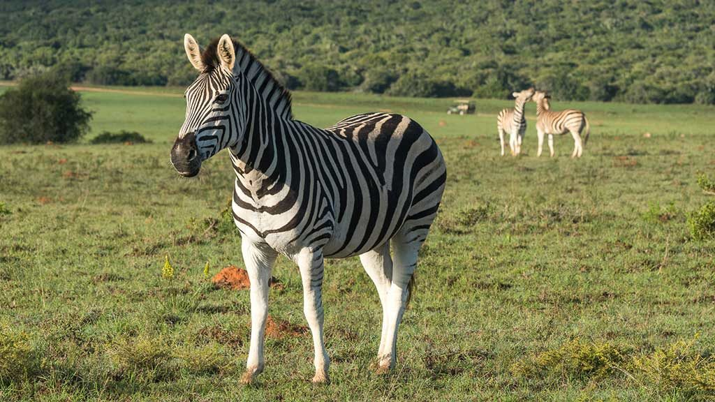 South African Tours with Zebras in open field