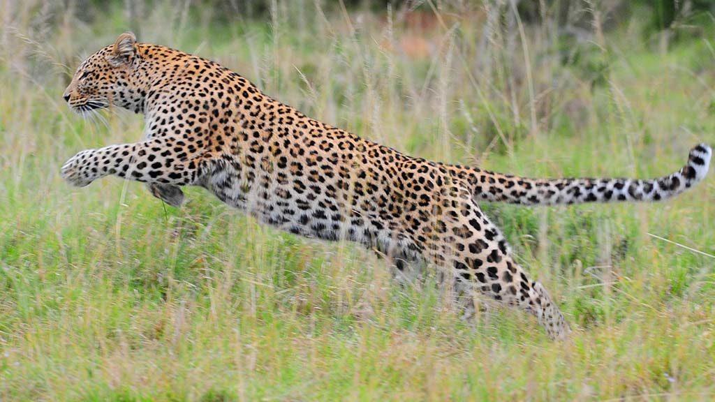 Safari Animals the African leopard