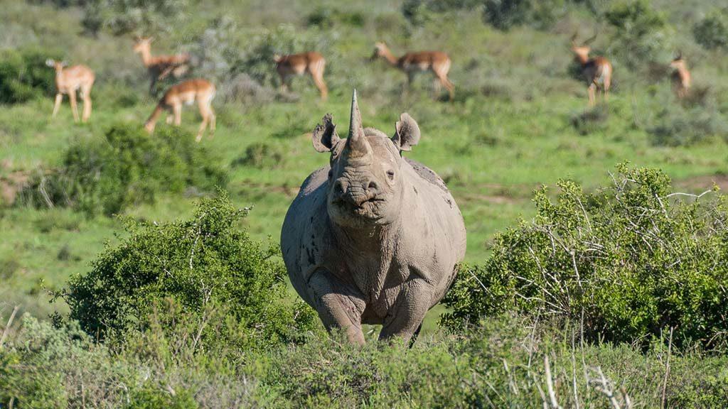 Safari Animals the black rhino