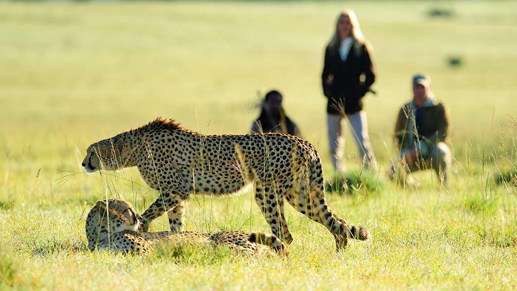 shamwari cheetahs