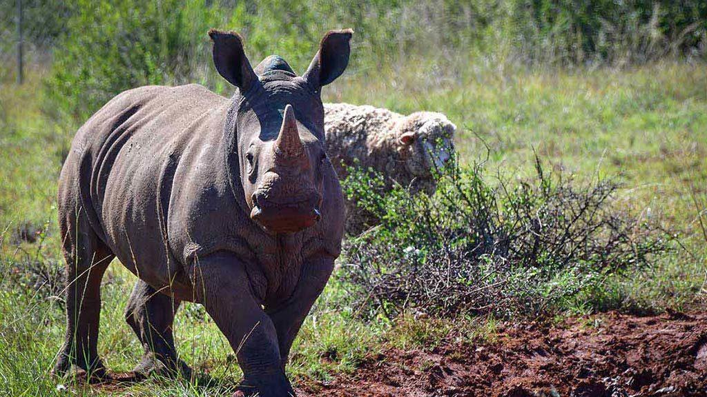 One of the orphaned rhino calves that has called Shamwari Wildlife Rehabilitation Centre home