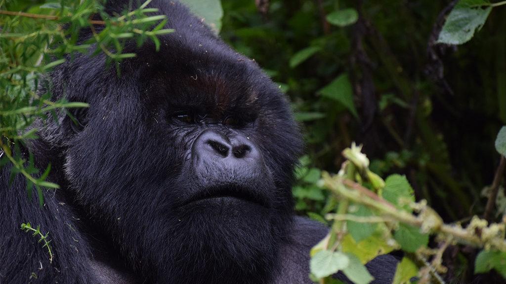 A close up of a silverback mountain gorilla - Africa Travel