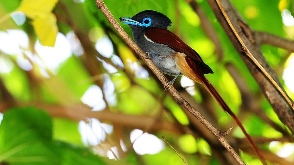 Shamwari Small bird with blue coloured rings around its eyes sitting on a tree branch