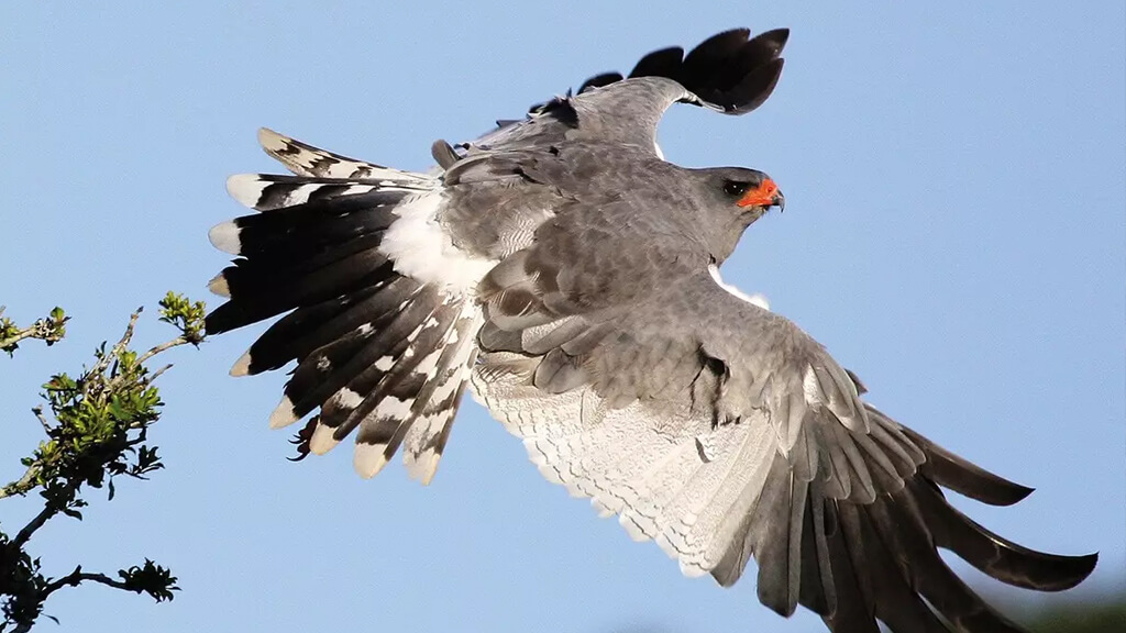 A Pale Chanting Goshawk spotted at Shamwari Private Game Reserve