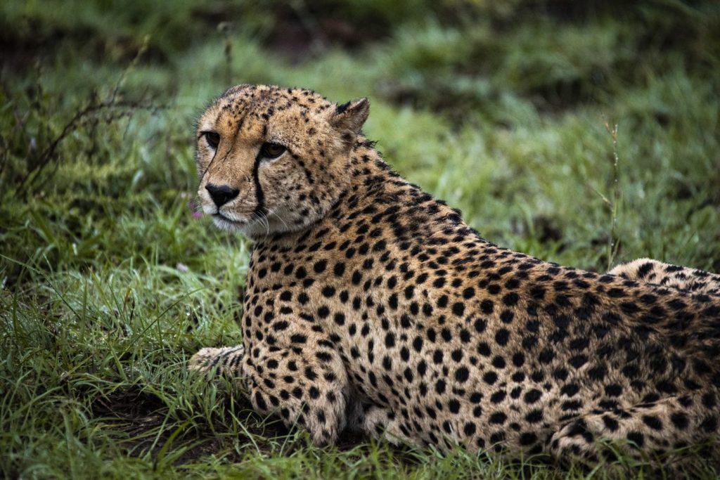 A-cheetah-relaxing-amongst-the-lush-spring-grass-at-Shamwari