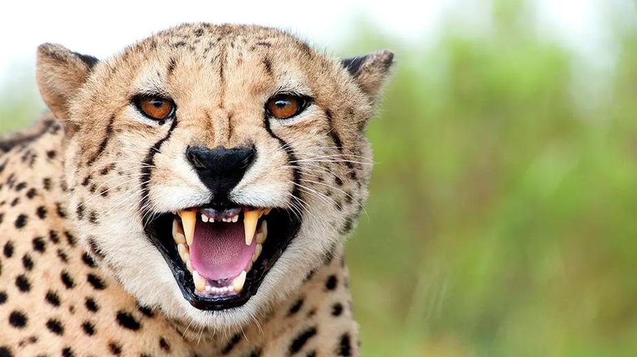 A-cheetah-bares-its-teeth-at-the-camera